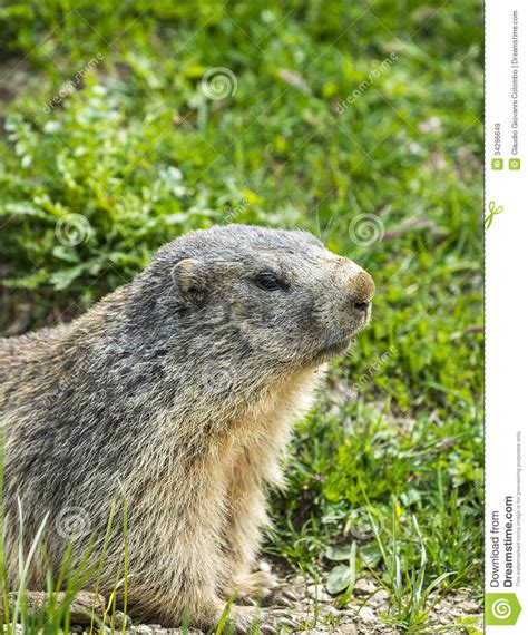 groundhog day italian colle dell agnello groundhog closeup royalty free stock