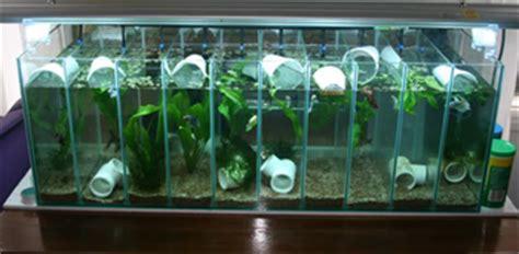 aquascape cupang hias model akuarium modern untuk ikan cupang hias dunia akuarium