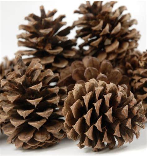 with pine cones pinecones pinecones a plenty