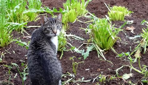 how to keep cats out of vegetable garden 5 ways to keep cats out of your garden hobby farms