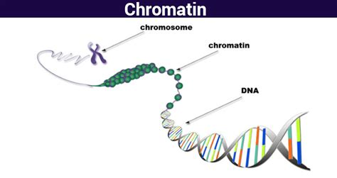 bead like proteins around which dna coils chromatin structure function analyzing chromatin