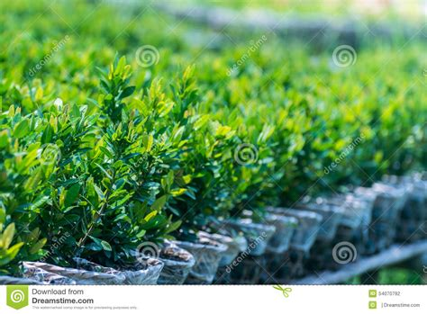 small trees for sale small green trees for sale stock photo image 54070792
