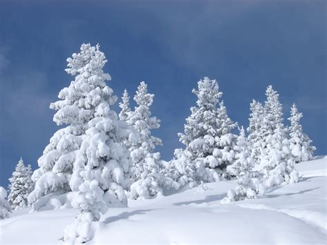 snowy tree pictures free stock photo of fir trees covered with snow