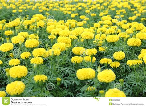 marigold flower garden marigold flower field stock photo image 35900850