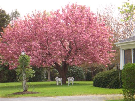 cherries what s the fastest growing variety of cherry tree gardening landscaping stack