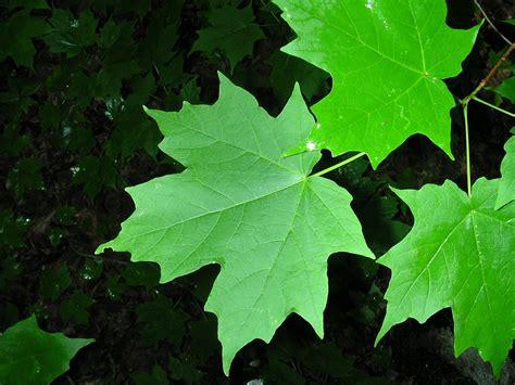 maple tree leaves acer saccharum