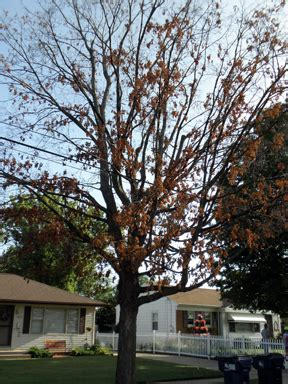 maple tree autopsy msu extension