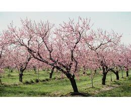 interesting facts about cherry trees with pictures ehow