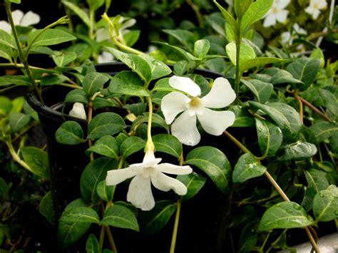 pflanze immergrün winterhart blühend vinca minor kleinbl 228 ttriges singr 252 n immergr 252 n wei 223 b 252 hendl