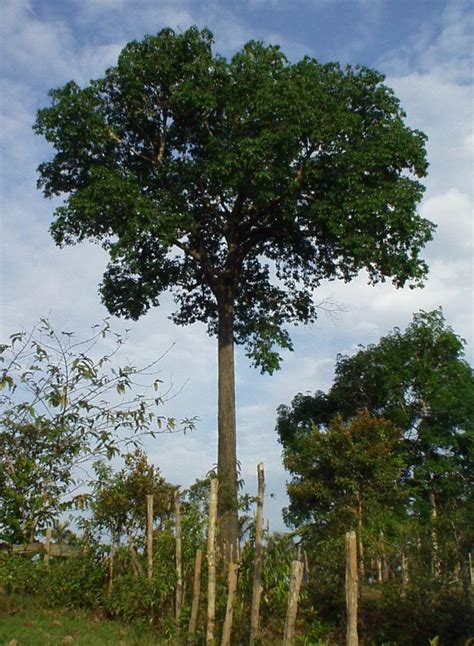 tree in brazil brazil nut tree pictures facts on brazil nut trees