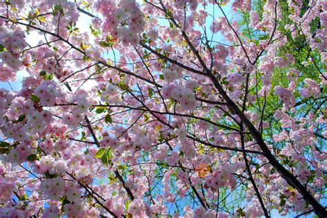 mille fiori favoriti cherry blossom time at the botanic garden