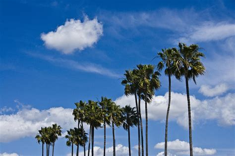 trees san diego palm trees in san diego california no 1661 photograph by