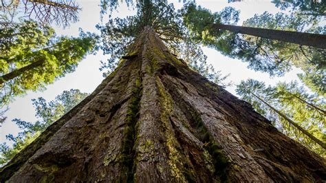 trees next scientists discovered a way to make trees grow bigger