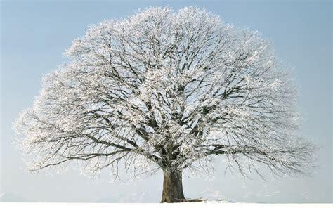 snowy tree pictures winter tree snow hd wallpaper of winter hdwallpaper2013