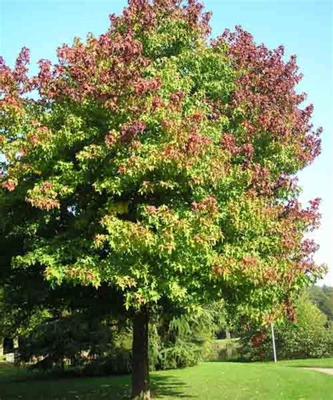 maple tree species 48 best types of maple trees images on maple tree acer and maple syrup