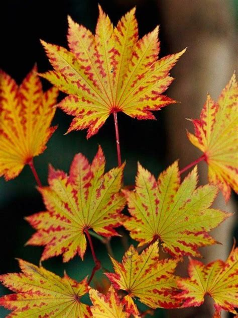 japanese maple varieties spectacular trees for your garden