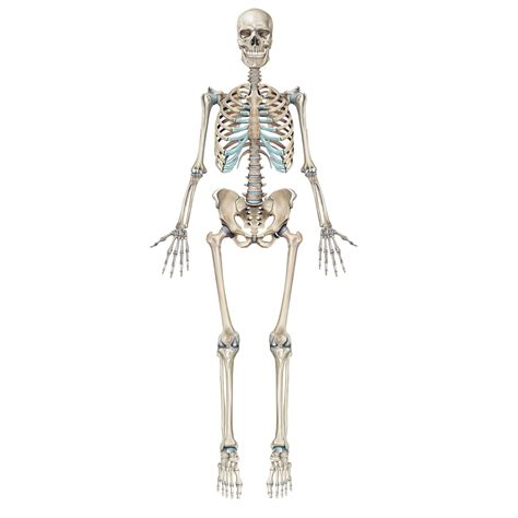 a skeleton team uanatomy