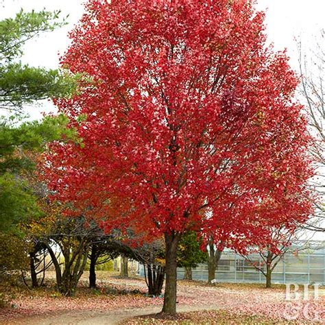 maple tree zone 10 fast growing trees