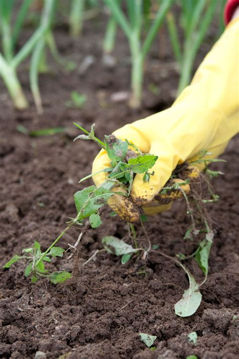 vegetable garden weeding how to weed the garden