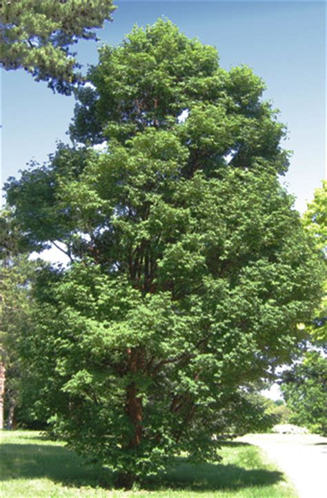 acer griseum paperbark maple facts pictures