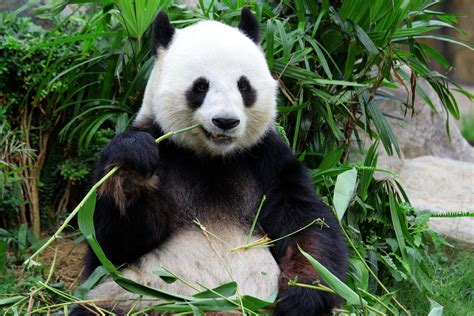 one panda bajerancko pandy najsłodsze zwierzęta świata