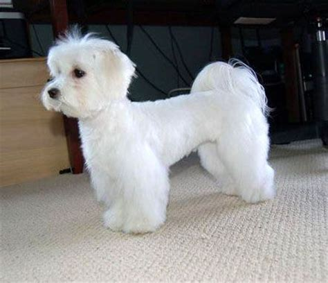 boy maltese haircuts 17 best images about grooming on pinterest poodles for