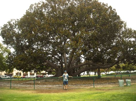 trees san diego large ficus tree in san diego by mit19237 on deviantart
