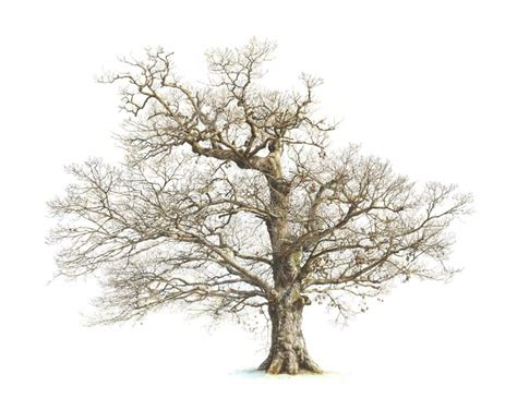 tree drawing best 25 oak tree drawings ideas on tree