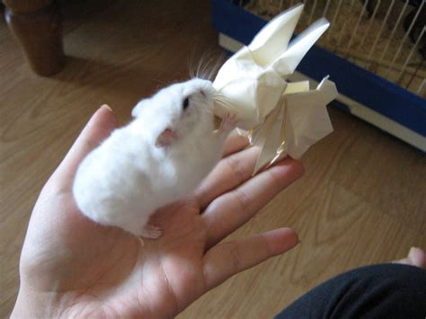 how to make an origami hamster origami bunny vs real hamster by darkumah on deviantart