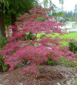 maple tree evergreen 67 best japanese maple images on japanese maple acer palmatum and gardening