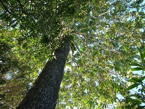 tree in brazil trees of brazil