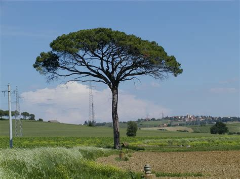 trees in italy pin parasol planter et tailler ooreka