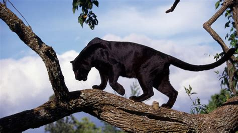 world of reading black panther this is black panther level 1 how many black panthers are left in the world reference