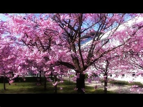 cherry tree vs cherry blossom tree cherry blossom tree compilation ciliegio in fiore