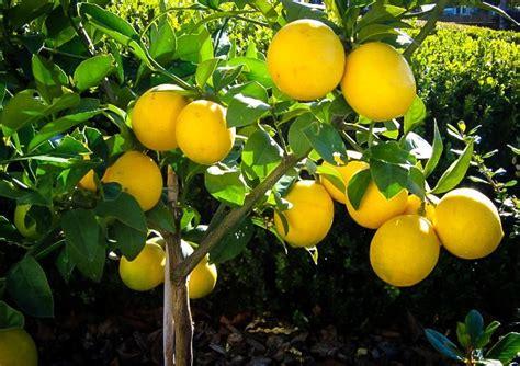 myer trees meyer lemon tree guide the tree center