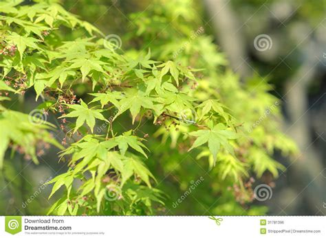bright green leaves of the maple tree in the grove garden suzhou china stock
