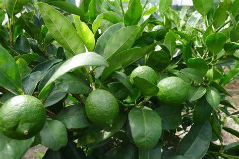 lime tree tahitian lime tree hello hello plants garden supplies