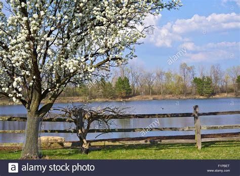 lake tree farm tree farm and lake flowering american plum