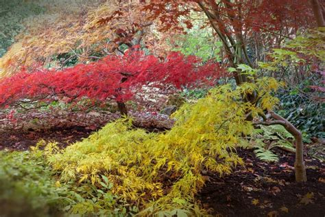 maple tree growing tips all about the japanese maple growing family