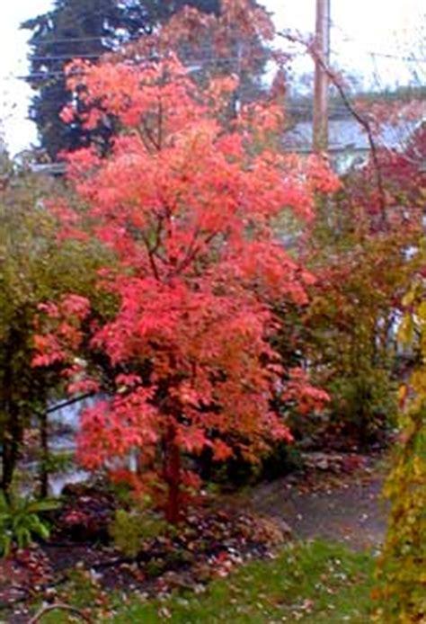 autumn trees paperbark maple