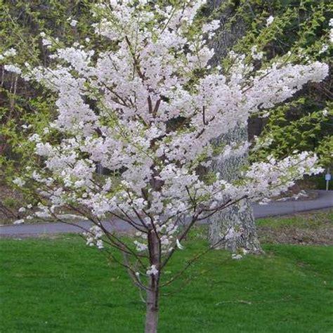 yoshino cherry prunus x yedoensis the home depot community