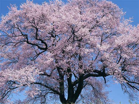 7 cherry tree wallpaper cherry tree