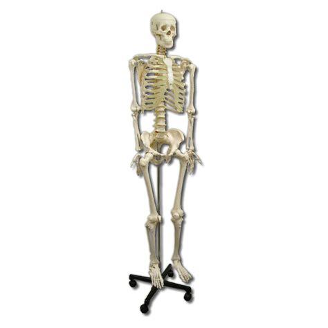 a skeleton anatomical model size skeleton sports supports