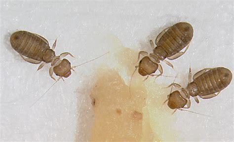 book mites pictures facts about book lice