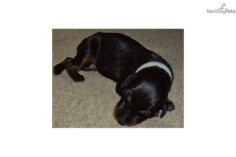 indiana adoption picture book miniature pinscher puppy for sale in indiana breeds