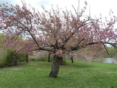 cherry trees cherry tree the traveling naturalist