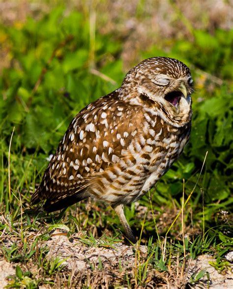 lwork owl s work burrowing owls