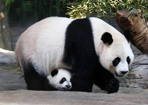 one panda panda triplets are reunited with juxiao at safari