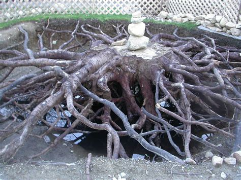 16 maple tree with roots graphic images japanese maple tree root system maple tree roots and
