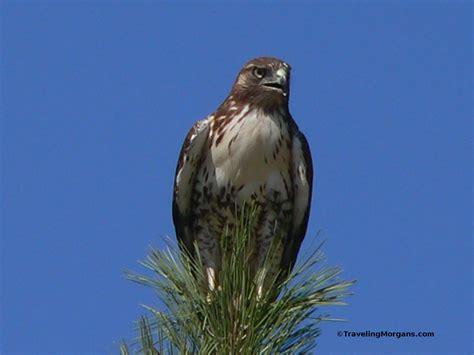 state bird of south dakota 100 state bird of south dakota state birds coloring